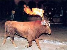 Tradicional forma de engamellar los toros