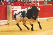 Los toros de Palha despiertan verdadera pasión entre la afición maña