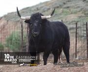 Los toros de Corbacho Grande sorprenderán por su espectacular trapío