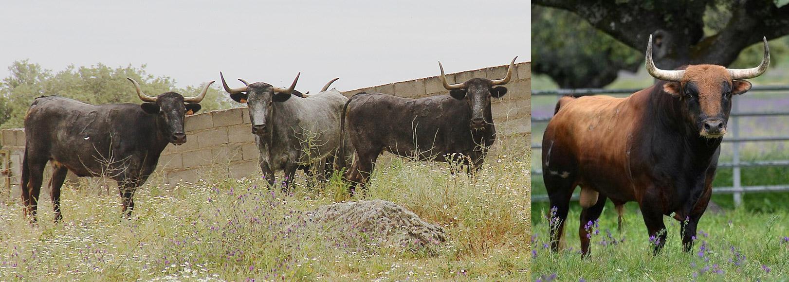 Vacas de Victorino y el impresionante toro de López Gibaja que se lidiará en la final del concurso