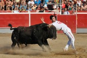 Toros con trapío son la base del tradicional concurso de recortadores de Rincón de Soto. Foto: Eduardo del Campo.