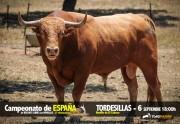 Espectacular novillo de El Cahoso para el Campeonato de España de Tordesillas.