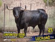 Espectacular toro de Juan Pedro Domecq para el Campeonato de España.