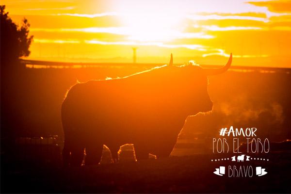 Amor por el toro bravo