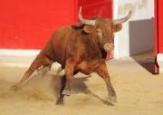 Los toros de Arriazu destacan por su trapío. Foto: Rafa Laguna.