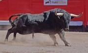El trapío es la seña de identidad de la plaza de toros de Bilbao. Foto: A. Barrios.