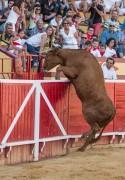 Las vacas y toros saltarines de Arriazu todo un espectáculo para el 22 de septiembre.