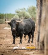 Impresionante el trapío de los toros del Campeonato de España.