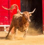 Las vacas de Arriazu destacan por su volumen y fuerza.