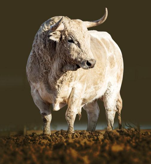 Espectacular toro de Palha para el desafío de recortadores.
