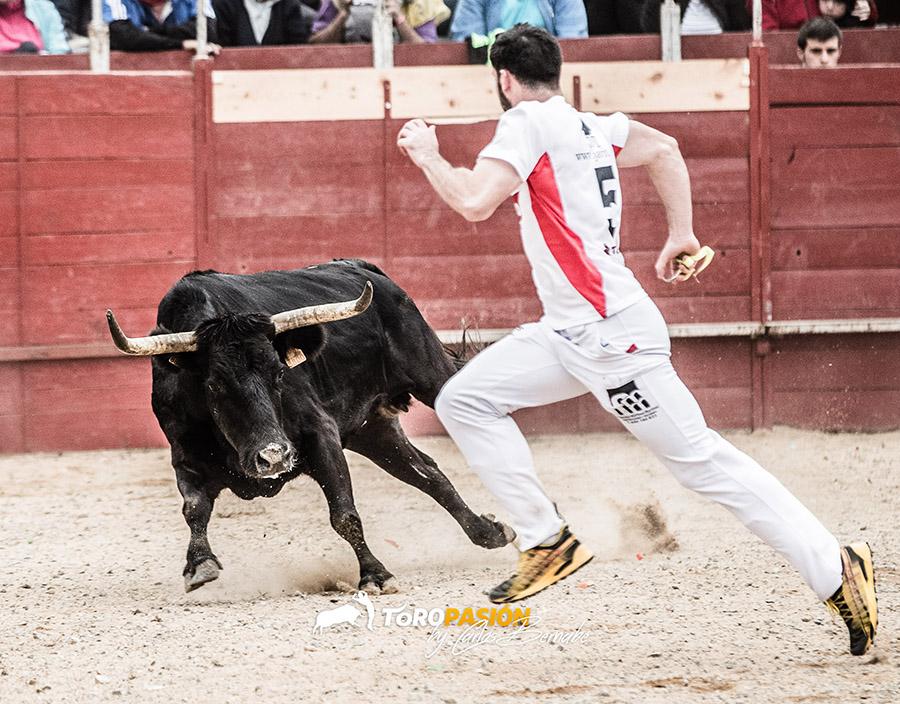 Las peligrosas y veloces vacas de Hnos. Marcén son una garantía para los concursos de anillas.